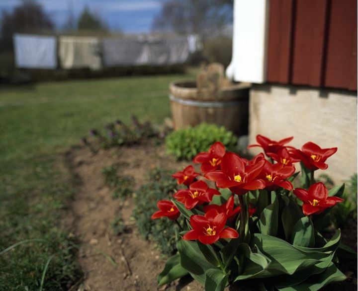 Close-up of Tulips in the courtyard of a house, Sweden