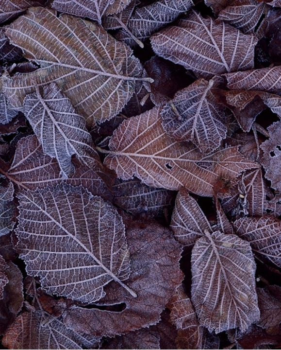 Leaves with dew, Sweden