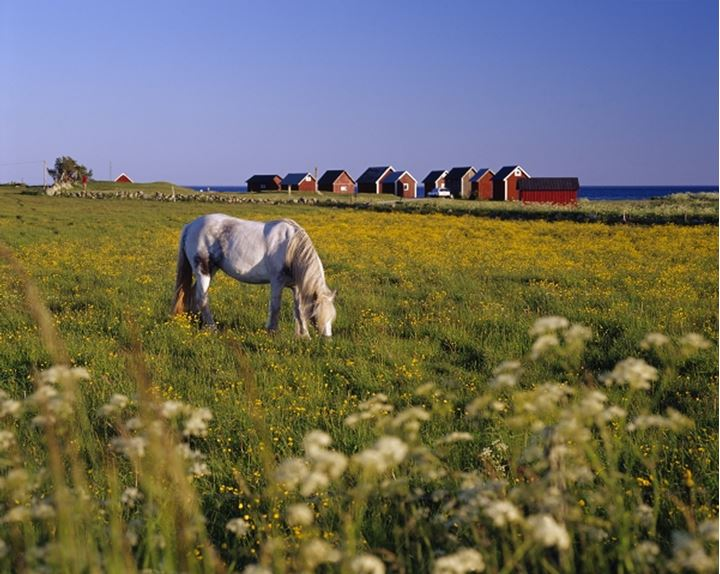 Horse grazing in a field, Oland, Sweden