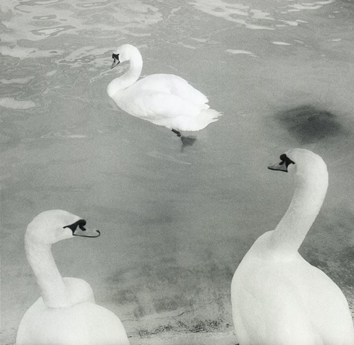 Three swans in a lake