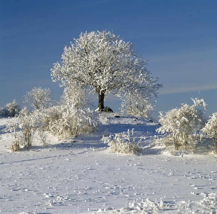 Trees on a snow covered landscape