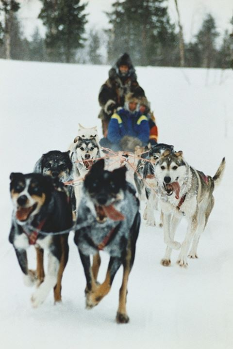 Sled dogs dragging a man on sled