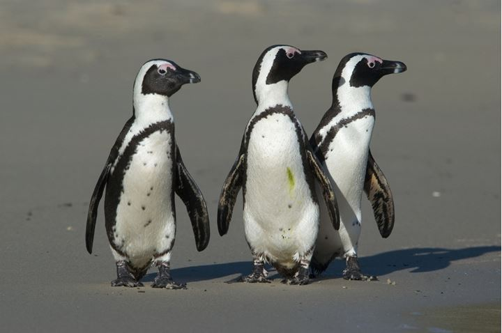 3 Jackass Penguins,Boulder Beach, South Africa