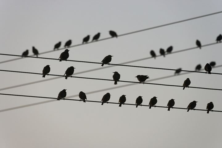 Birds sitting on electric cables