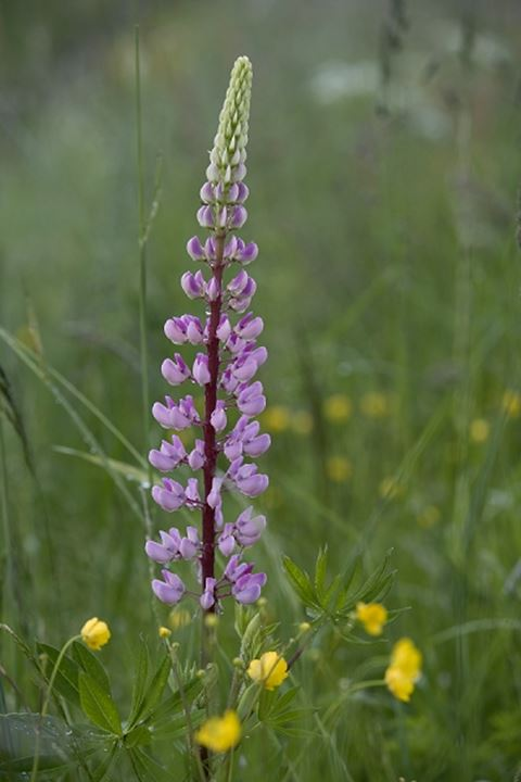 Close-up of Lupine and Buttercup flowers
