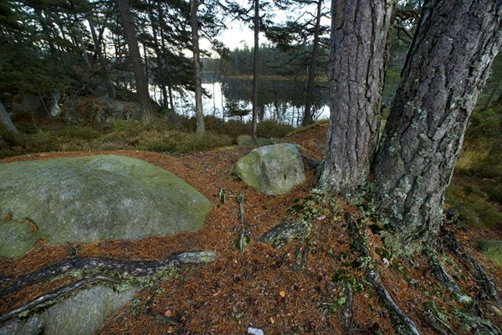 Roots of a pine and stones on a lakeside