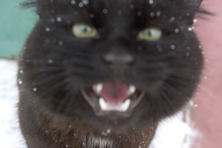 Close-up of an angry cat