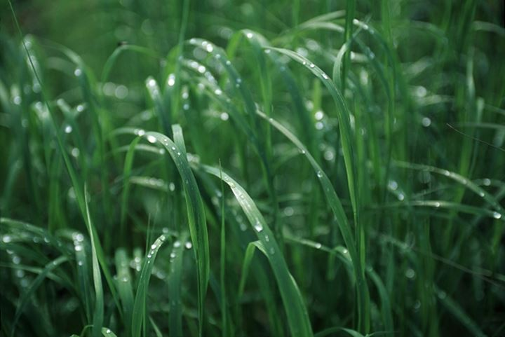 Dew pearled grass