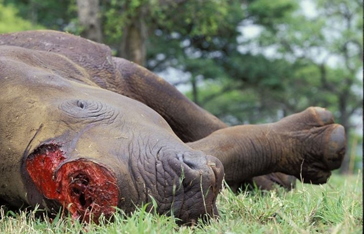 Dead White Rhino with its horns removed. Hluhluwe Umfolozi Park. KwaZulu-Natal. South Africa