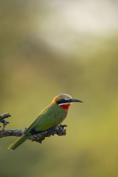 Whitefronted Bee-eater (Merops bullockoides) on a branch. Mashatu Game Reserve. Northern Tuli Game Reserve. Botswana