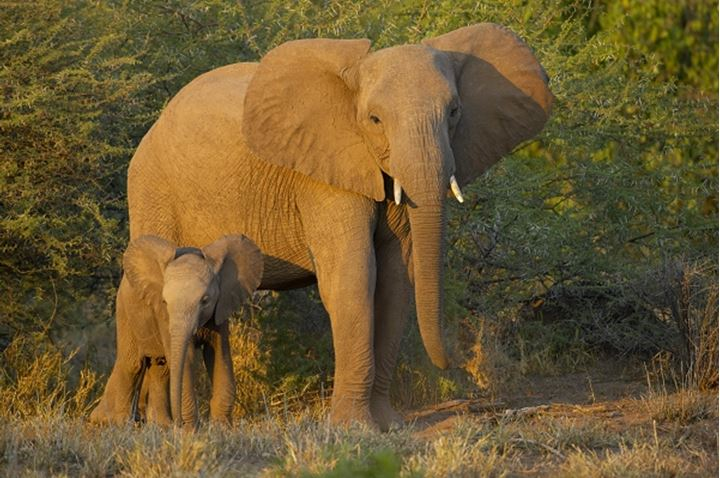 Elephant (Loxodonta africana) cow and calf in veld showing aggression by spreading their ears. Nothern Tuli Game Reserve. Botswana.