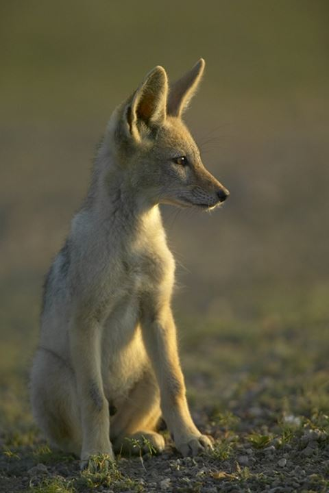 Blackbacked Jackal (Canis mesomelas) pup in veld. Mashatu Game Reserve. Northern Tuli Game Reserve. Botswana.