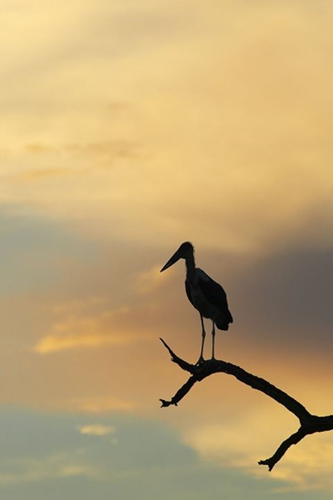Marabou Stork (Leptopilos crumeniferns) in dead tree at sunset. Mashatu Game Reserve. Nothern Tuli Game Reserve. Botswana
