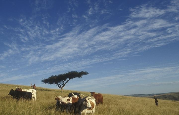 Cows grazing in steppe
