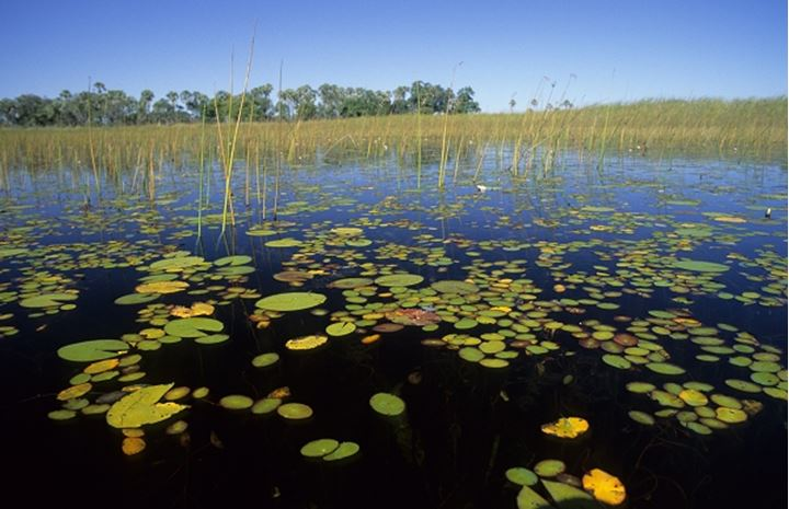 Water lily pods floating in a pond, Sweden