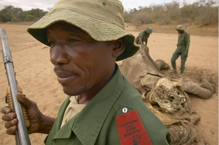 Game Rangers inspecting dead African Elephant (Loxodonta africana). Northern Tuli Game Reserve. Botswana.