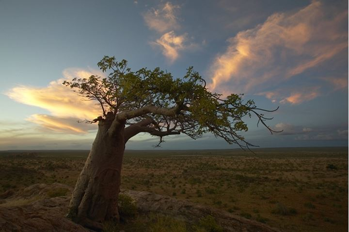 Baobab Tree (Andansonia digitata) on Mmamagwa Hill beneath. Northern Tuli Game Reserve. Botswana.