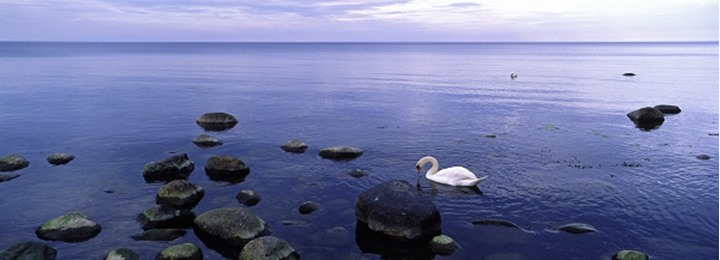 A swan by the sea shore, Sweden