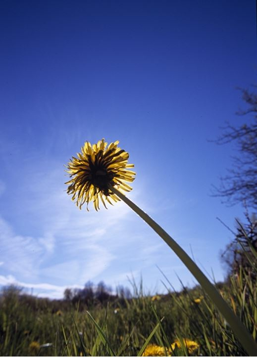 Low angle view of a dandelion flower, Oland, Sweden