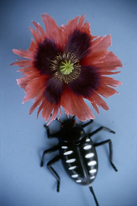 A black bug and flower on blue background