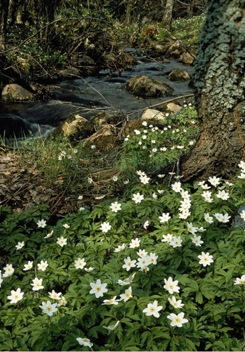 White Anemones in forest, Sweden