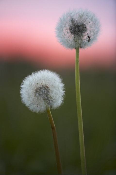 Close-up of two Dandelions in a field, Sweden