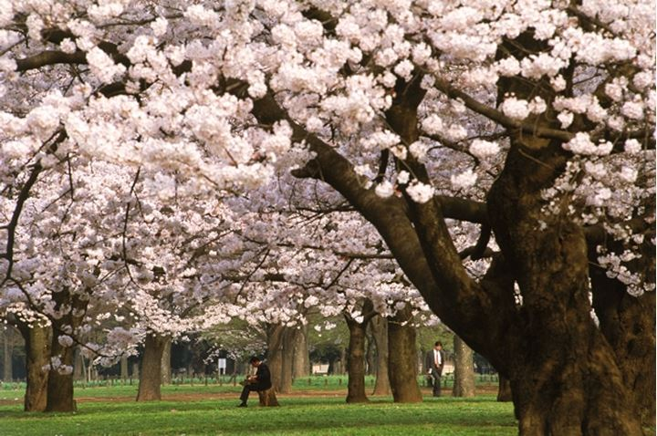 Businessmen relaxing under cherry blossoms at Yoyogi Park in Tokyo