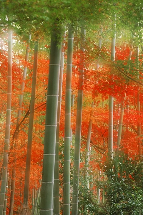 Bamboo forest painted in autumn colors at Arshiyama Park in Kyoto   Japan