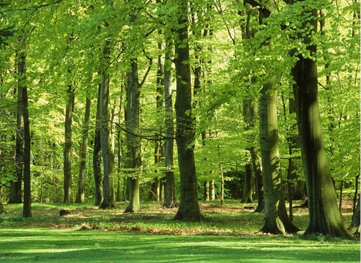 Beechwood forest in Southern Sweden