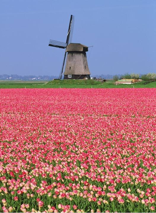 Windmill above field of pink tulips near Stompetoren in Holland