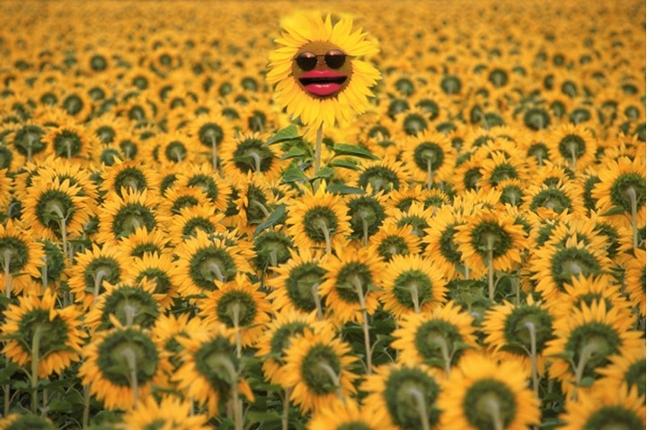 Individual sunflower with sunglasses going her own way against the crowd