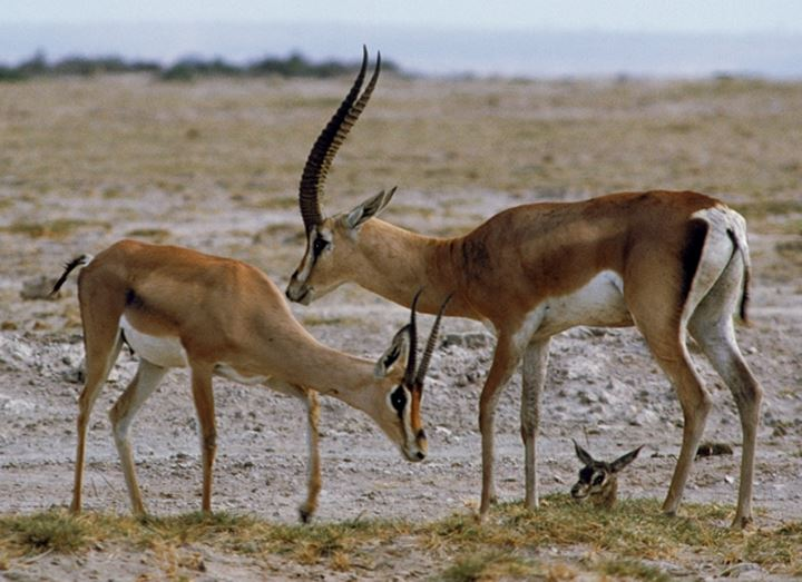 Male and female impalas protecting and nursing their newborn calf in Zimbabwe