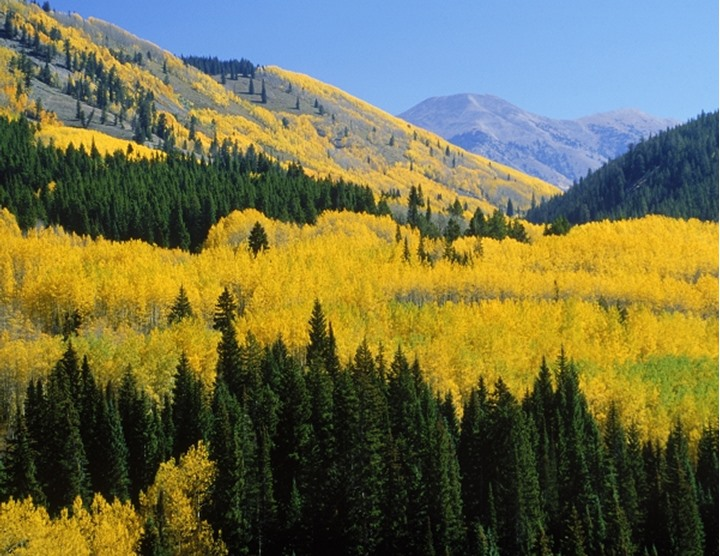 Aspen groves in autumn at Gunnison National Forest in Colorado