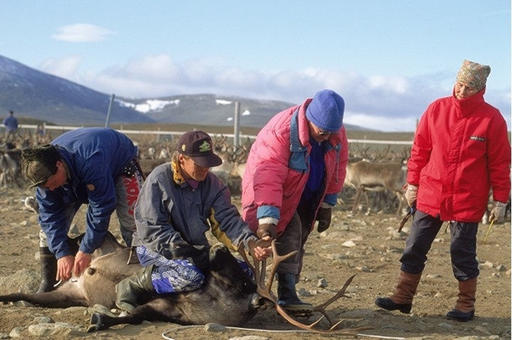 Lapps above Arctic Circle in Sweden using ropes to lasso reindeer for ear marking and castration