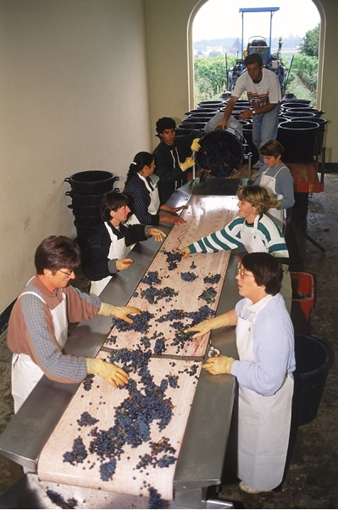 """Workers selecting and sorting grapes at chateau near St. Emilion during harvest season or """"vendange"""" in France"""