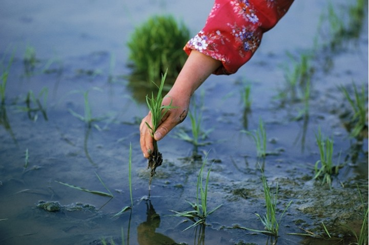 Close up of hand planting stalks in rice paddy