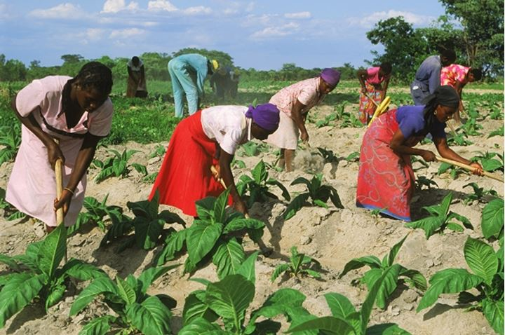 African men and women amid rows of tobacco plants on plantation in Zimbabwe