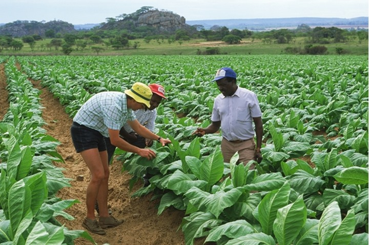 Tobacco plantation owner working with employees and crops in Zimbabwe