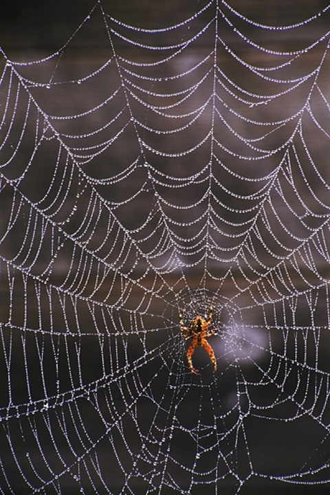 Spider and dewdrops on perfect cobweb