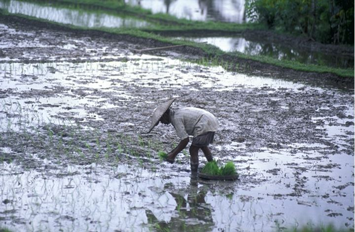INDONESIA BALI PEASANT PLANTING OUT RICE SEEDLINGS