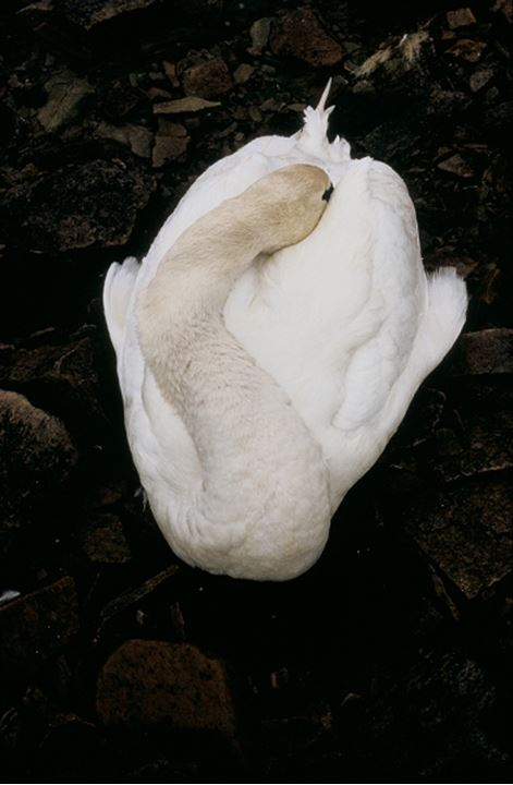 Overhead view of white swan resting with its beak tucked under its wing
