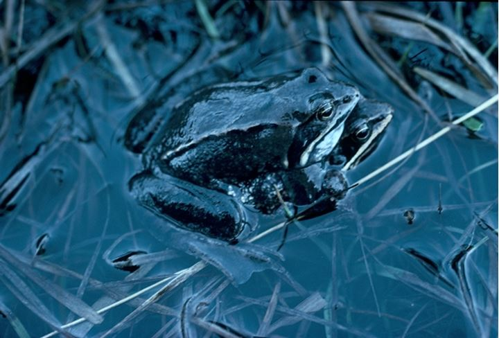 Overhead view of a blue frog in water