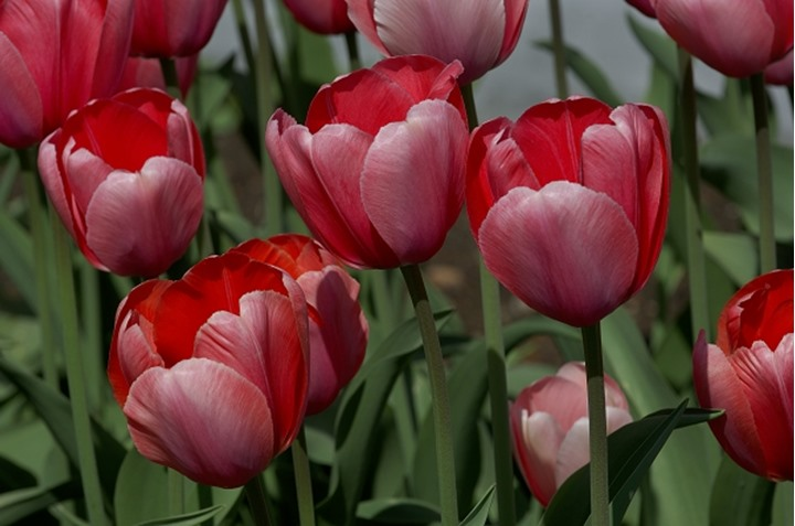 Close-up view of blooming red tulip flowers