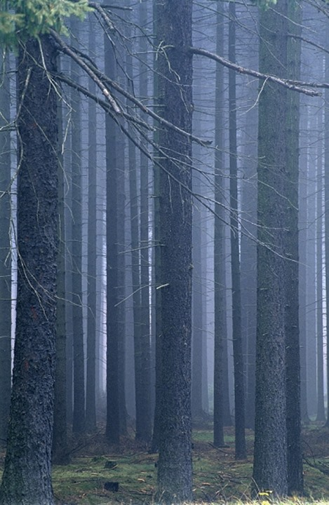 FOREST IN FOG.