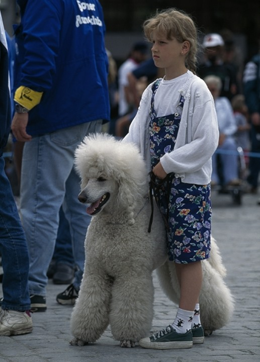 A girl standing by a white standard poodle