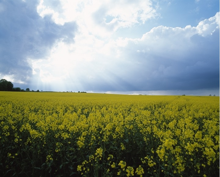 Rapeseed field, Skane in Sweden