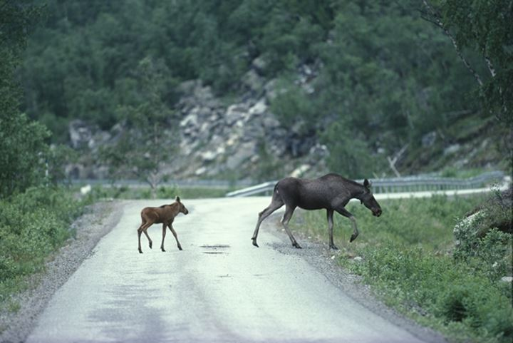 Two animals on road