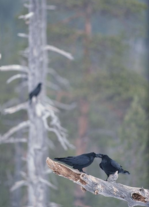 Two crows in a forest