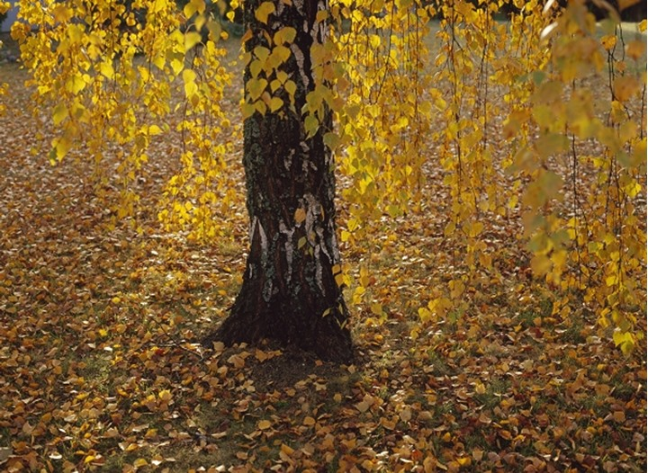 Ground covered with yellow autumn leafs