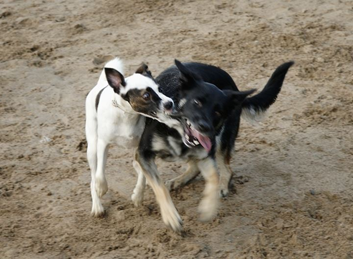 Dogs play fighting on sand